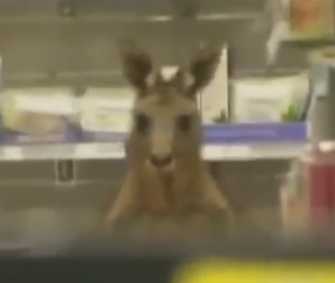 An injured kangaroo hopped into an airport pharmacy in Australia.