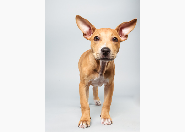 Delachaise, Pit Bull Mix, Animal Planet Puppy Bowl X