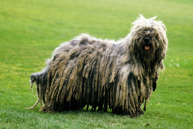 Bergamasco