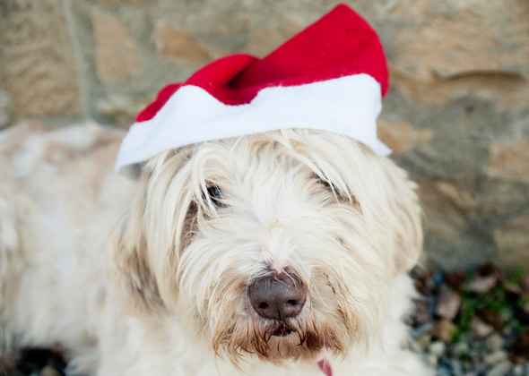 Bearded Collie wearing Christmas hat