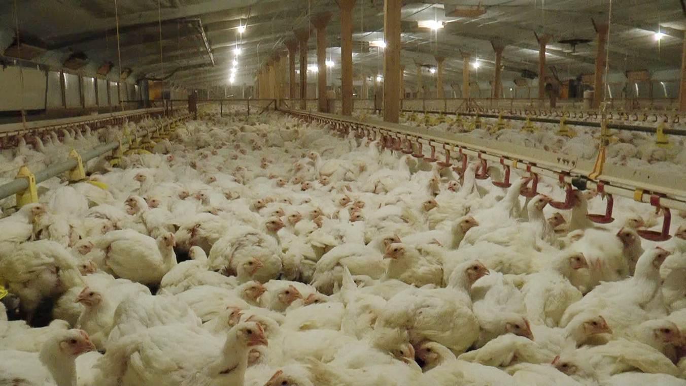 Image result for European chicken farm CREDIT LAURENT GILLIERON