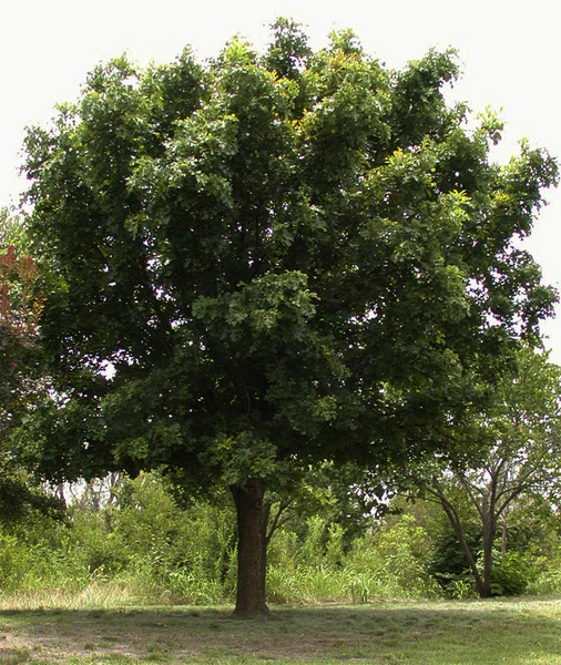 Extra large oak