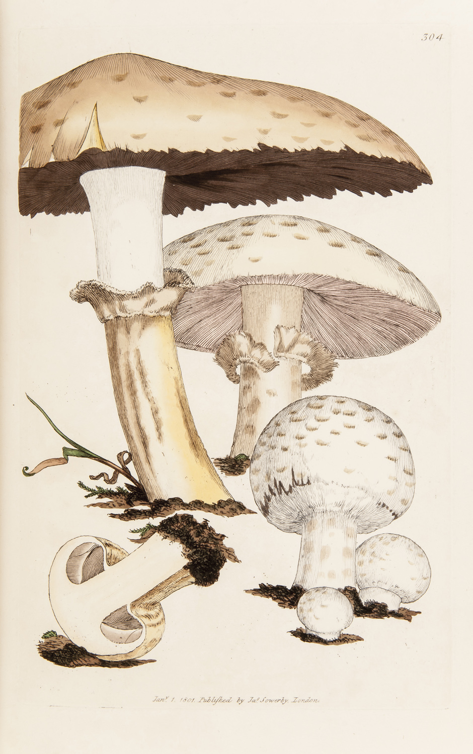 SOWERBY, James. Coloured Figures Of English Fungi Or Mushrooms