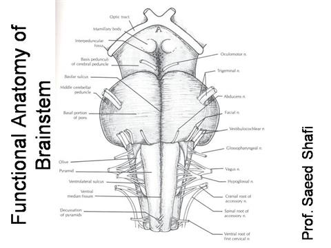 Functional Anatomy of Brainstem |authorSTREAM