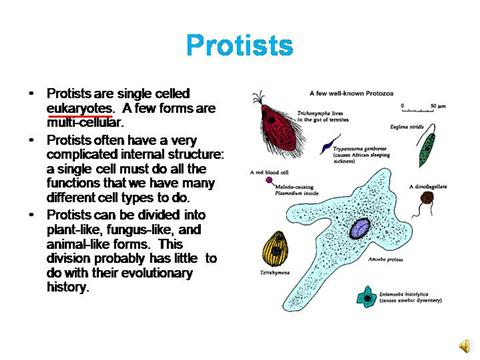 Animal Like Protist Power Point |authorSTREAM