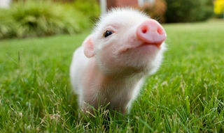 Cutest-piggy