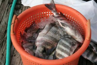 Inshore Sheepshead Time is here! CAPTAIN JUDY HELMEY