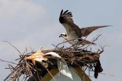 Photo of an Osprey (Fish Hawk)<br><br>courtesy of  Anne Silver and Capt. Gus Gustafson<br><br> <br><br>
