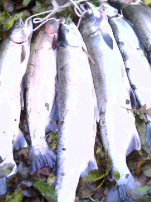 Cowlitz Summer Run Steelhead Scott Warter~scott@KickAssFishing.com