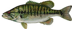 Bassshoal-240-fw