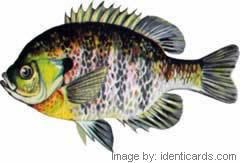 Bluegill-240-fwsw
