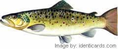 Browntrout-240-fw