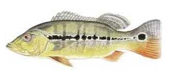 Fish_1810576665_speid349