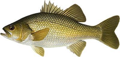 Fish_666017398_speid313