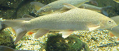 Fish_914512493_speid502