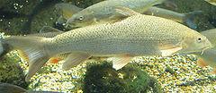 Fish_914512493_speid502