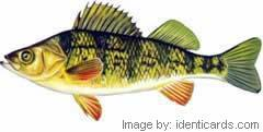 Yellowperch-240-fw