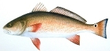 Redfish-3