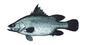 Fish_24297949_speid351