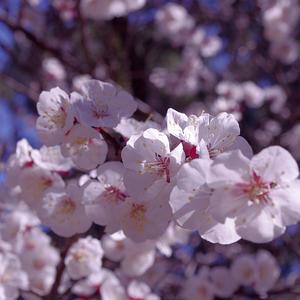 Flor almendro rosita