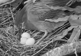 Green_heron_tending_her_nest