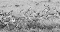 Thompson_gazelle