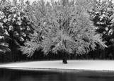 Apple_tree_in_snow