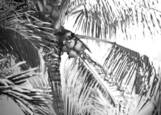 Coconut_palms
