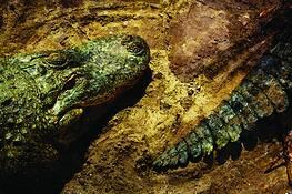 Gator_lineup