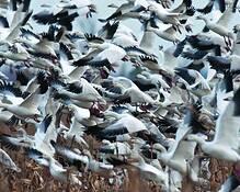 Snow_geese_4222