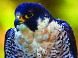 Peregrine_falcon