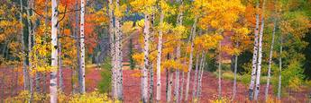Aspens_and_mountain_stream