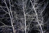 Trees by Umberto Sommaruga