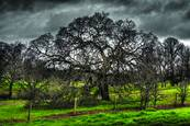 Valley_oak