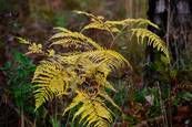 Gold_fern