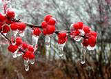 Ilex_winterberries