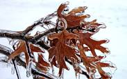 Oakleaf_twist_in_ice