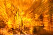 Exploding_aspens_1