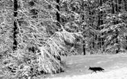 Coyote_in_winter