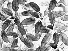 Black_leaf_3