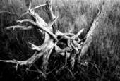Swamp_roots