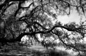 Live oaks at ocella creek