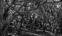 Fort_funston_trees