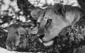 Pensive_lion