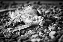 Dead_bird__115