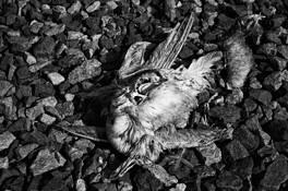 Dead_bird__128