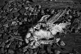 Dead_bird__145