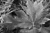 Frosted_leaf