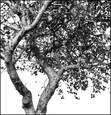 Apple_tree
