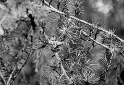 Nesting_hummingbird